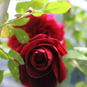 Futó rózsa piros színű