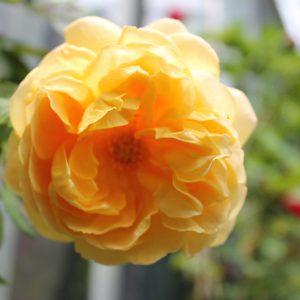 Futórózsa sárga színű