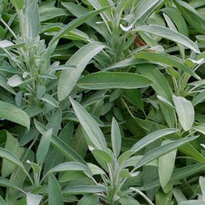 Orvosi zsálya Salvia officinalis