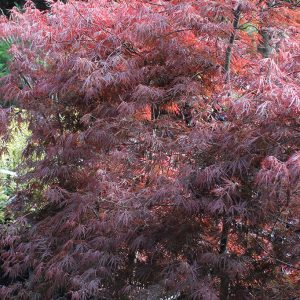 Szeldelt levelű japán juhar Acer palmatum Dissectum Tamukeyama