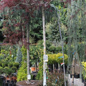 Szeldelt levelű japán juhar fa Acer palmatum Dissectum Tamukeyama