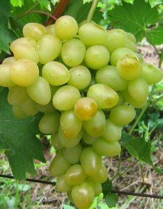 Árkádia szőlő