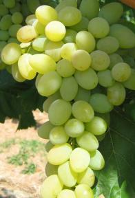 Bolgár rezi szőlő