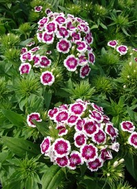 Törökszegfű Dianthus deltoides Barbarini Purple Picotee