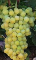Down Seeedless magnélküli szőlő