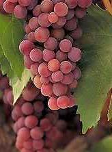 Japán izabella szőlő