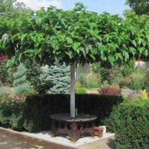 Platánlevelű eperfa Morus alba Platanifolia