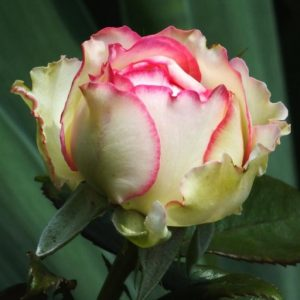 Törzses rózsa Rosa Biedermeyer