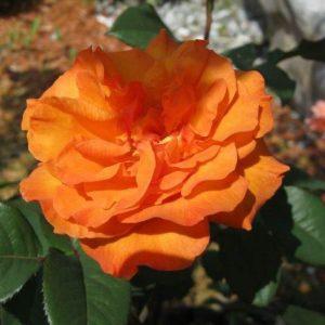Rózsa Rosa Doris