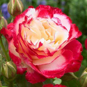 Rózsa Rosa Double Delight