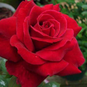 Rózsa Rosa Lincoln