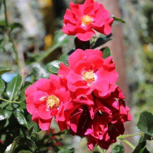 Törzses rózsa Rosa Matador