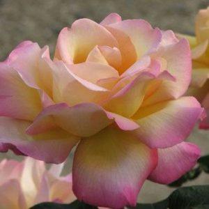 Rózsa Rosa Peace