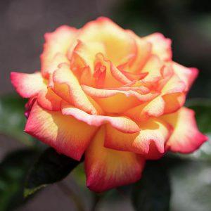 Rózsa Rosa Sheila's Perfume