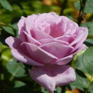 Rózsa Rosa Sissi