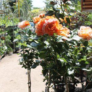 Törzses rózsa Rosa Landora