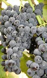 Vénusz magnélküli szőlő