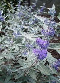 Angol kékszakáll Caryopteris clandonensis Sterling Silver