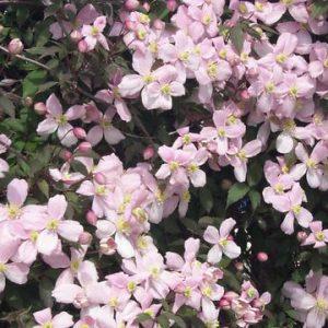 Rózsásvirágú gyöngyvirágcserje Deutzia x rosea