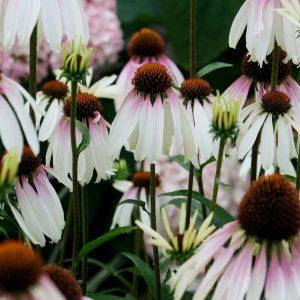 Kasvirág Echinacea purpurea Pretty Parasols
