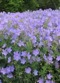 Gólyaorr Geranium Johnson's Blue