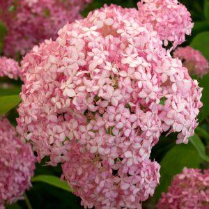 Cserjés hortenzia rózsaszín Hydrangea arborescens Pink Annabelle