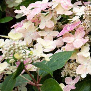 Bugás hortenzia Hydrangea paniculata Ophelia Switch