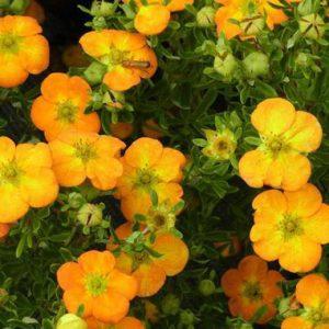 Cserjés pimpó Potentilla fruticosa Bella Sol
