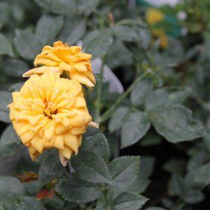Sárga virágú ágyásrózsa Rosa Golden Sun