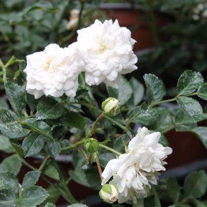 Fehér virágú ágyásrózsa Rosa Sea Foam