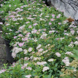 Törpe gyöngyvessző Spiraea japonica Little Princess
