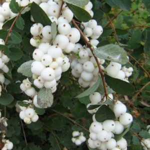 Hóbogyó Symphoricarpus White Hedge