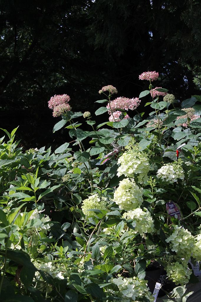 Cserjés-, és bugás hortenziák