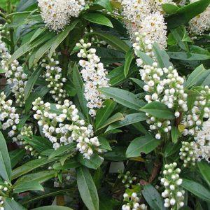 Gajo Babérmeggy Prunus laurocerasus Gajo